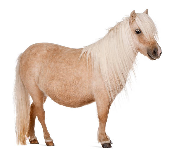 Brown Palomino Shetland pony on white background Palomino Shetland pony, Equus caballus, 3 years old, standing in front of white background  [url=http://istockphoto.com/file_search.php?text=http://www.istockphoto.com/user_view.php?id=902692&action=file&membername=globalp][img]http://lifeonwhite.com/i/T1.jpg[/img][/url] [url=http://istockphoto.com/file_search.php?text=farm+or+cow+or+horse+or+duck+or+donkey+or+poultry+or+goat+or+pig+or+turkey+or+chick&action=file&membername=globalp][img]http://lifeonwhite.com/i/8.jpg[/img][/url] [url=http://istockphoto.com/file_search.php?text=bird&action=file&membername=globalp][img]http://lifeonwhite.com/i/5.jpg[/img][/url] [url=http://istockphoto.com/file_search.php?text=Rodent+or+bunny+or+ferret+or+rabbit&action=file&membername=globalp][img]http://lifeonwhite.com/i/4A.jpg[/img][/url] [url=http://istockphoto.com/file_search.php?text=dog+or+cat&action=file&membername=globalp][img]http://lifeonwhite.com/i/1A.jpg[/img][/url] [url=http://istockphoto.com/file_search.php?text=