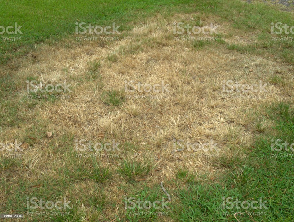 Brown Patch in Lawn stock photo
