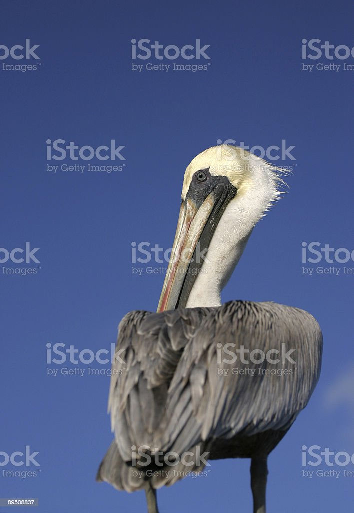 Brown pelican (Pelecanus occidentalis) against a blue sky copy space royalty-free stock photo