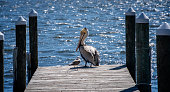 Brown pelican and seagull sitting at the end of the dock in Northern Florida