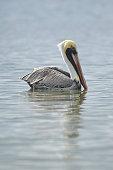 Brown Pelican Bird \n\nPlease view my portfolio for other wildlife photos.