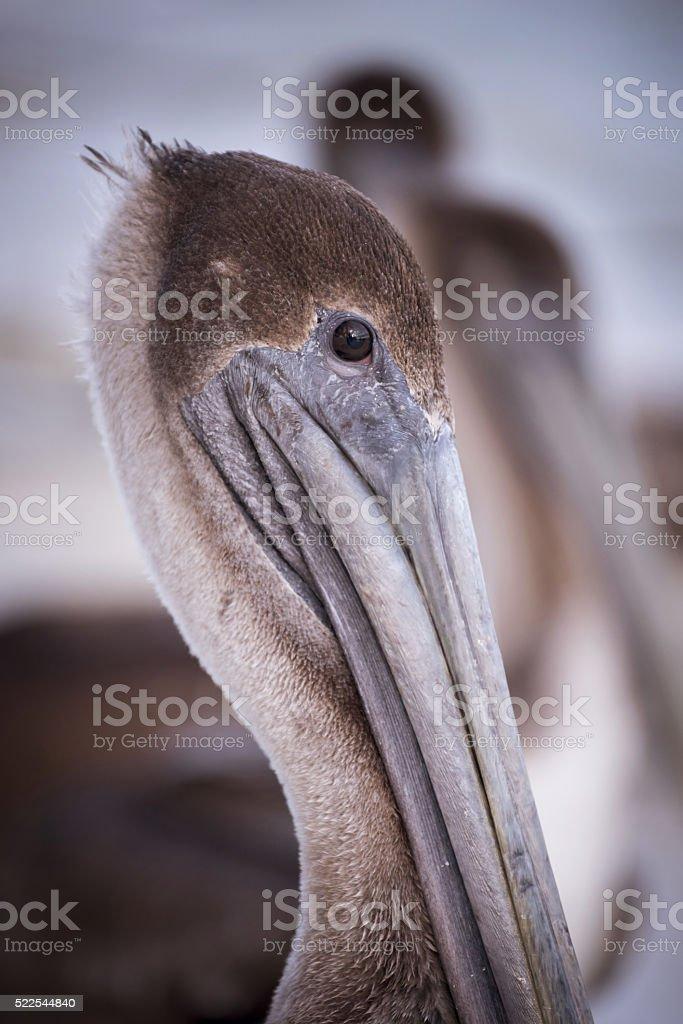 Close up of wild brown pelican bird, exotic animal portrait on...
