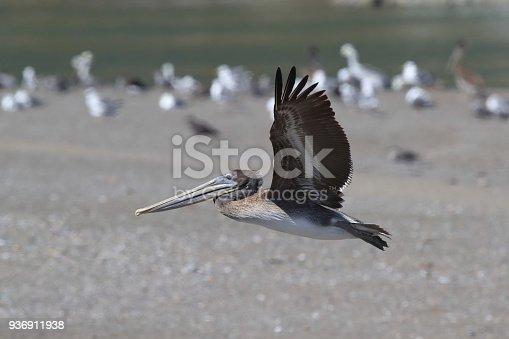 89943372 istock photo brown pelican (Pelecanus occidentalis) CA USA 936911938