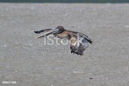 istock brown pelican (Pelecanus occidentalis) CA USA 936921466