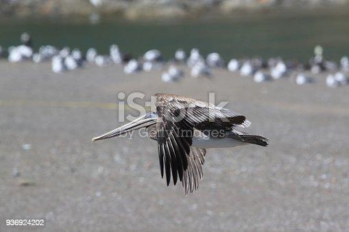 istock brown pelican (Pelecanus occidentalis) CA USA 936924202