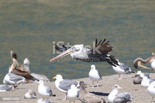 istock brown pelican (Pelecanus occidentalis) CA USA 936924330