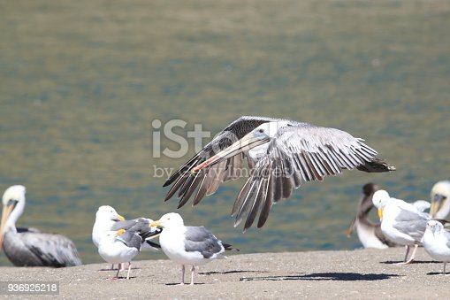 89943372 istock photo brown pelican (Pelecanus occidentalis) CA USA 936925218