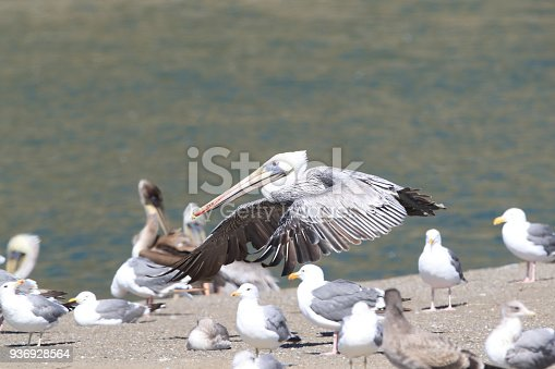 istock brown pelican (Pelecanus occidentalis) CA USA 936928564