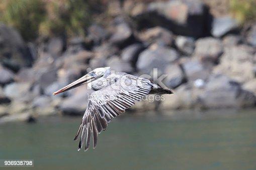 istock brown pelican (Pelecanus occidentalis) CA USA 936938798