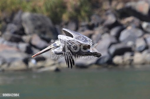 istock brown pelican (Pelecanus occidentalis) CA USA 936942584