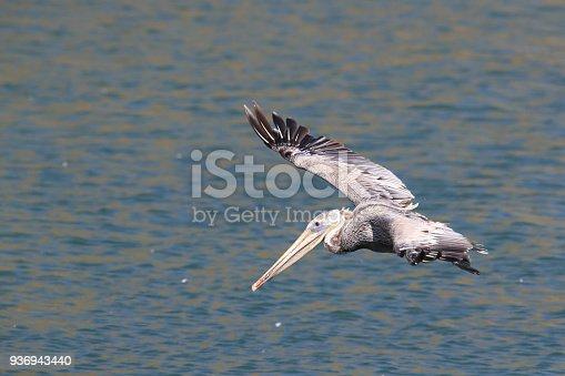 istock brown pelican (Pelecanus occidentalis) CA USA 936943440