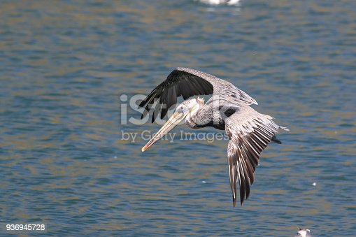 89943372 istock photo brown pelican (Pelecanus occidentalis) CA USA 936945728