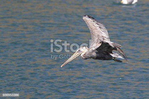 89943372 istock photo brown pelican (Pelecanus occidentalis) CA USA 936953386