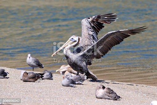 istock brown pelican (Pelecanus occidentalis) CA USA 936956042
