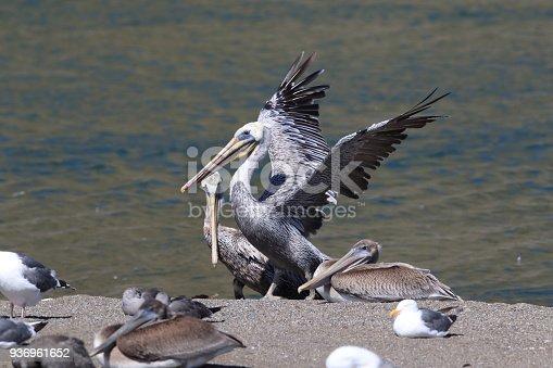 istock brown pelican (Pelecanus occidentalis) CA USA 936961652