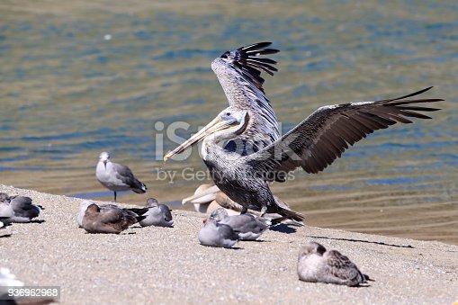 istock brown pelican (Pelecanus occidentalis) CA USA 936962968