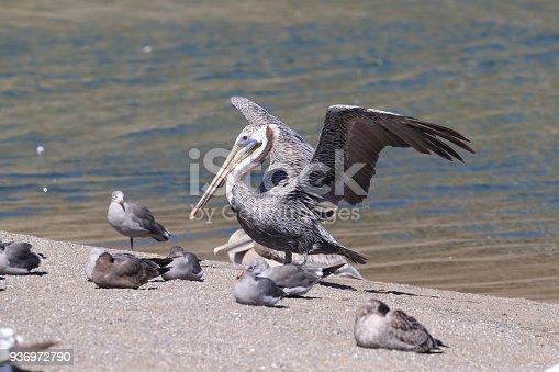 89943372 istock photo brown pelican (Pelecanus occidentalis) CA USA 936972790
