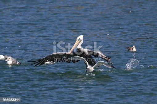 istock brown pelican (Pelecanus occidentalis) CA USA 936983344