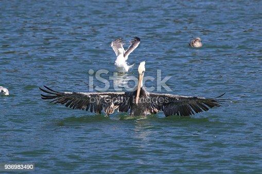 istock brown pelican (Pelecanus occidentalis) CA USA 936983490