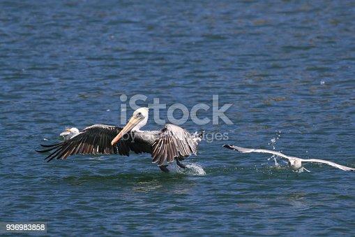 istock brown pelican (Pelecanus occidentalis) CA USA 936983858