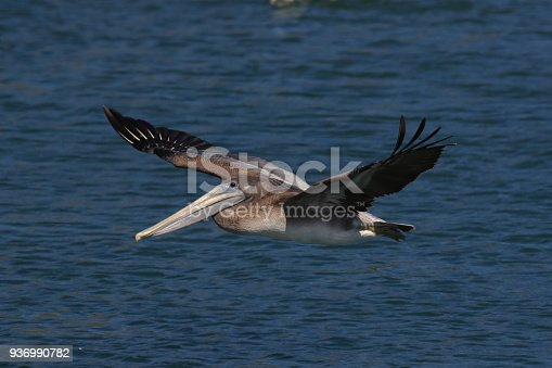 istock brown pelican (Pelecanus occidentalis) CA USA 936990782