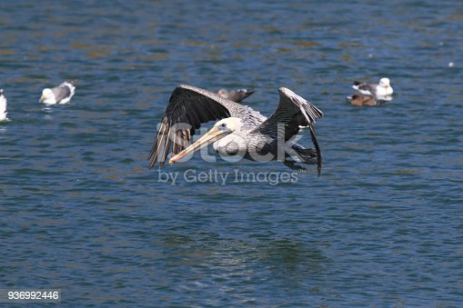 istock brown pelican (Pelecanus occidentalis) CA USA 936992446