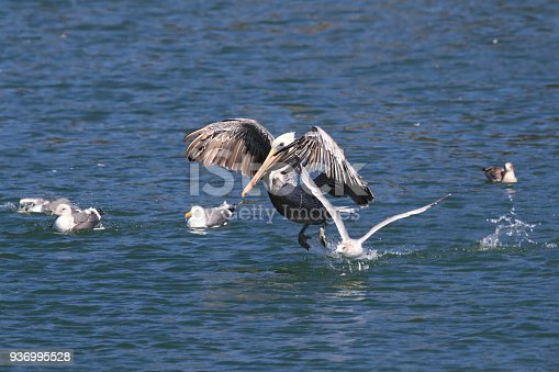 istock brown pelican (Pelecanus occidentalis) CA USA 936995528