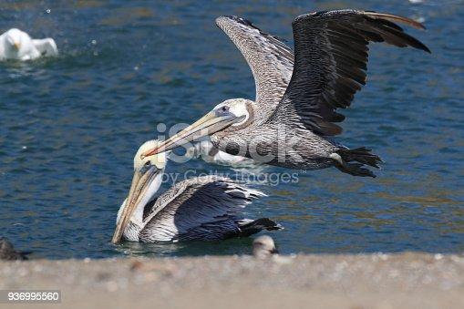 istock brown pelican (Pelecanus occidentalis) CA USA 936995560