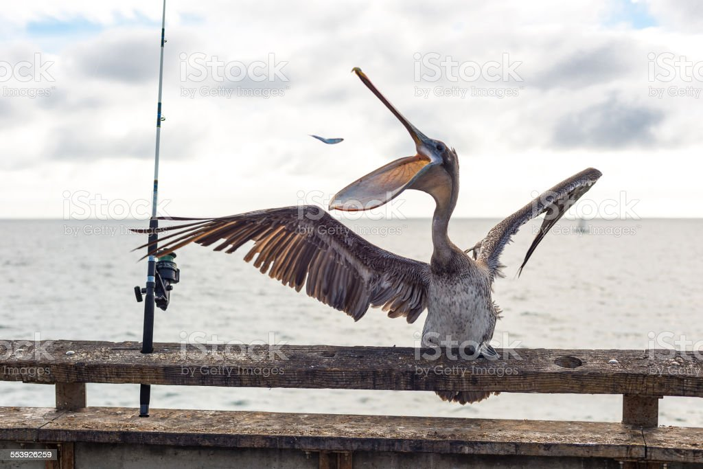 Brown pelican catches fish mid air in bill stock photo