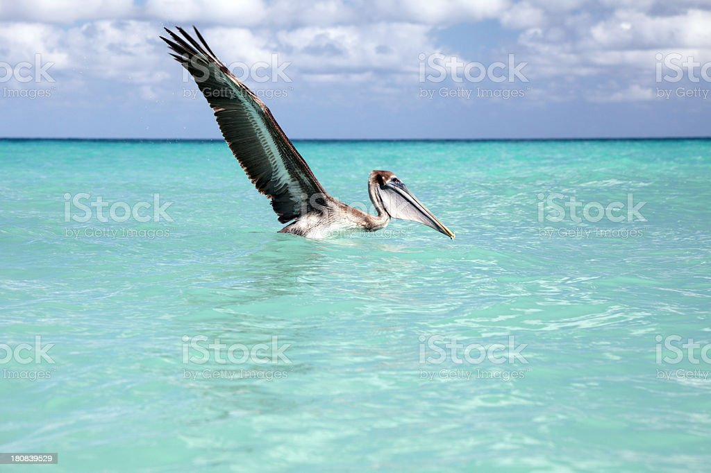 Brown Pelican catches fish royalty-free stock photo