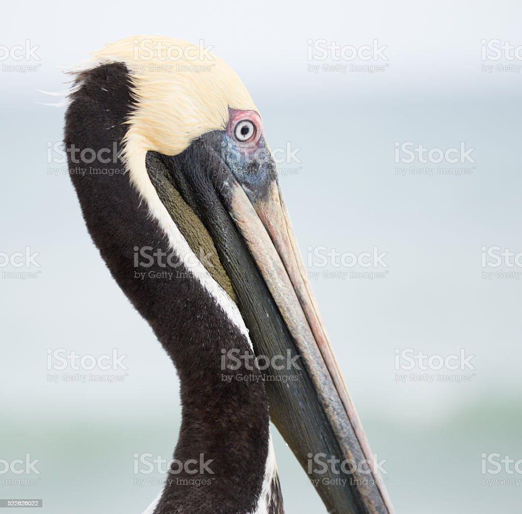Brown Pelican Close-Up View stock photo