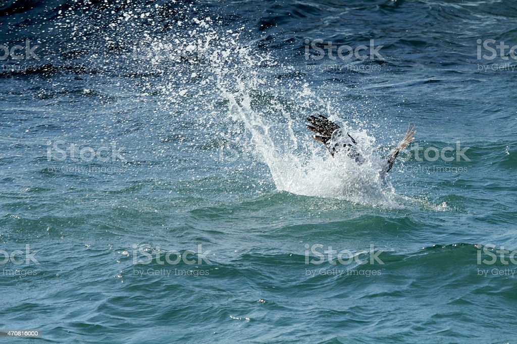 Brown pelican diving in a splash on Florida's east coast. stock photo