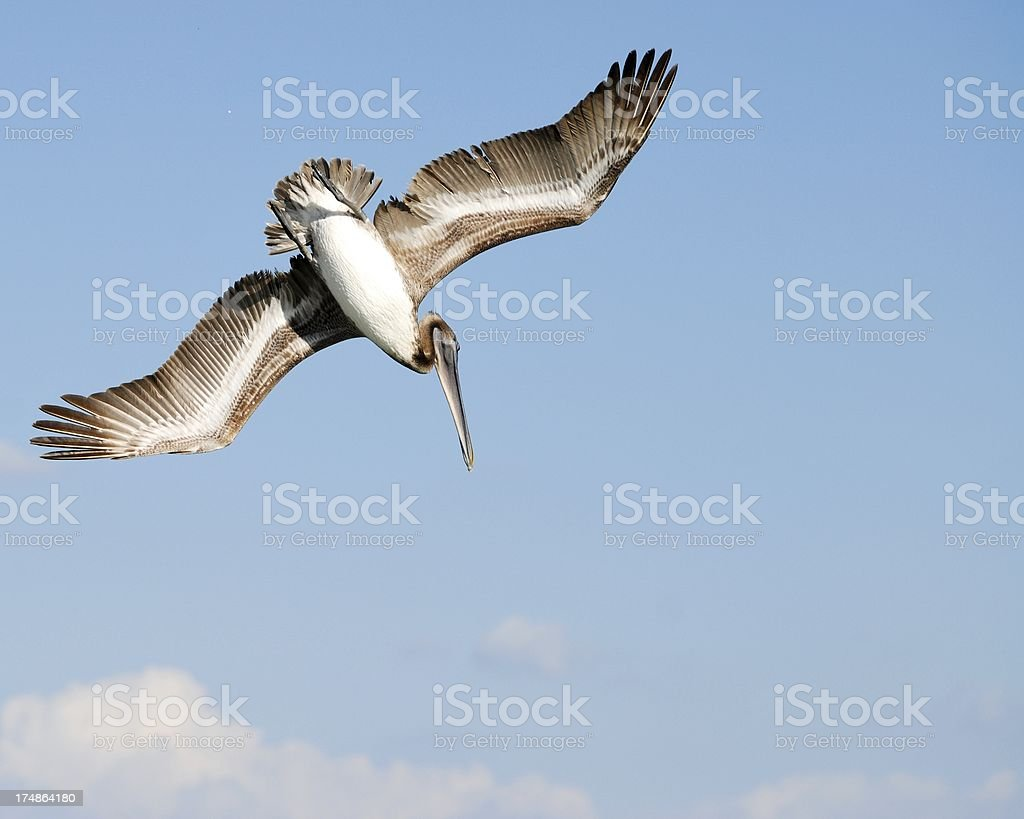 Brown Pelican diving royalty-free stock photo
