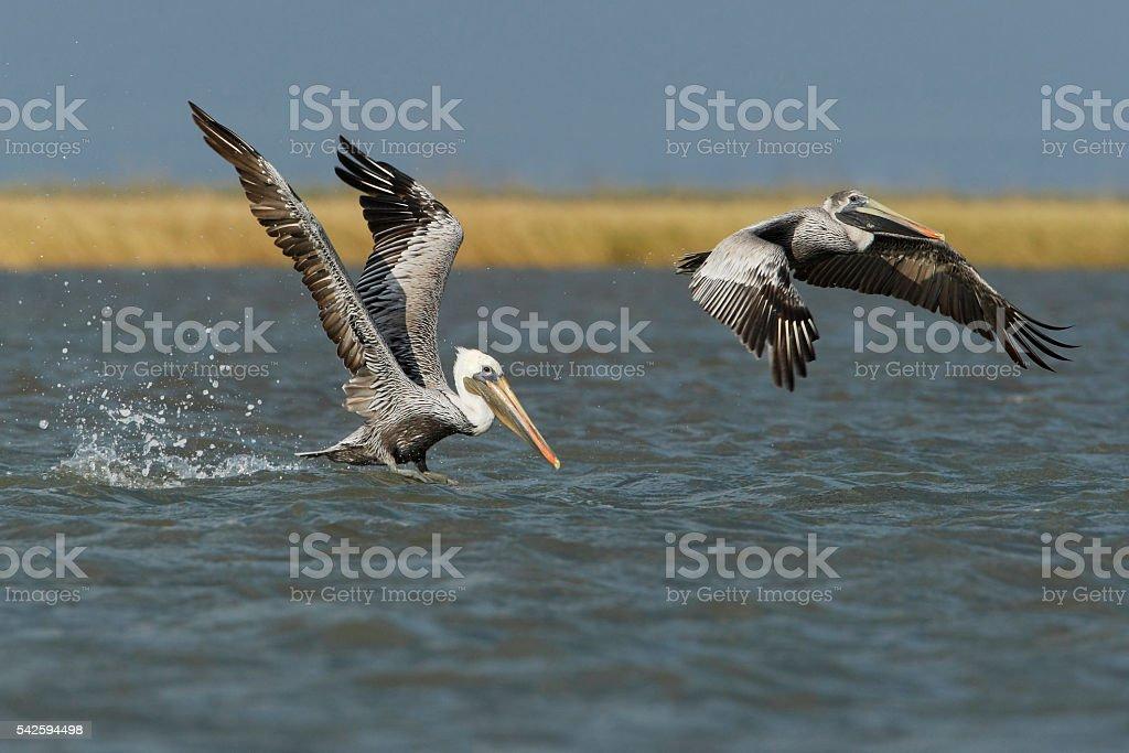 Brown pelican (Pelecanus occidentalis) flying, Bolivar peninsula, Texas, USA stock photo