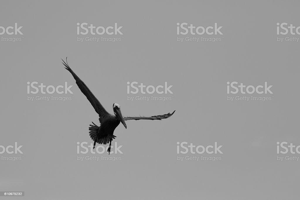 Brown Pelican Flying, J.N. ''Ding'' Darling National Wildlife Re stock photo