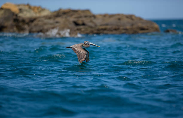 Brown pelican flying over Pacific coast of Nicaragua stock photo