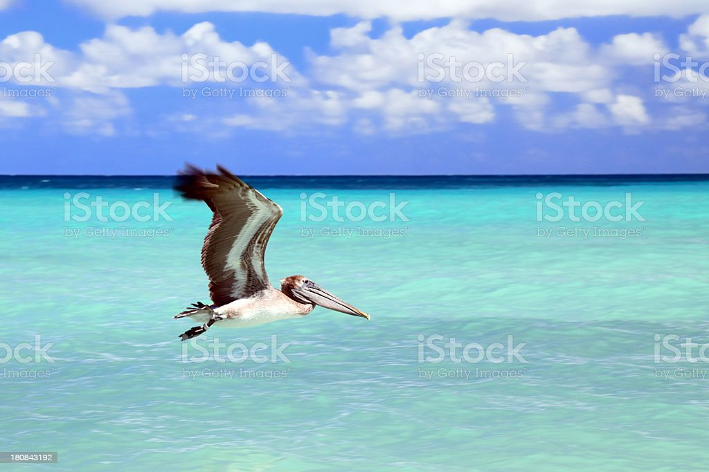 Brown Pelican in action royalty-free stock photo