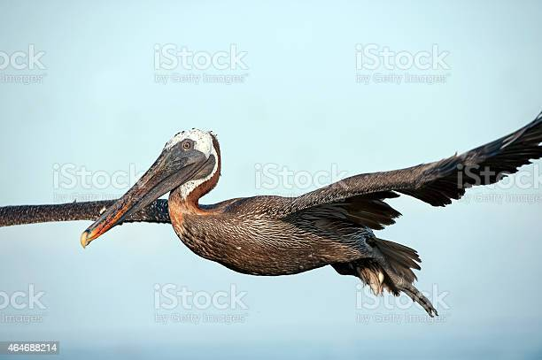 Seemingly ungainly in the air this Brown Pelican glides effortlessly in flight, Galapagos Islands