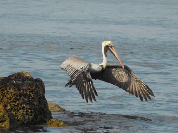 Brown pelican in flight inches above the waves stock photo
