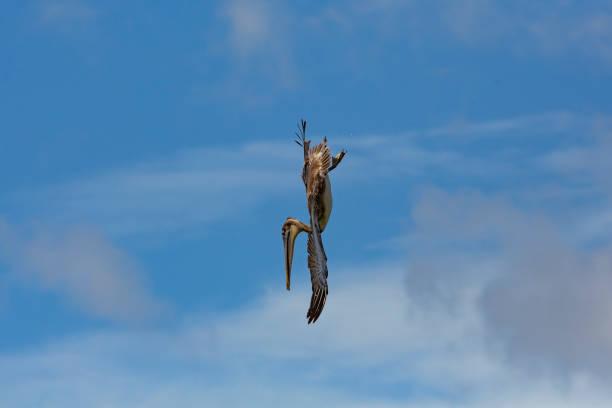 Brown Pelican in flight over Pacfic ocean, Nicaragua stock photo