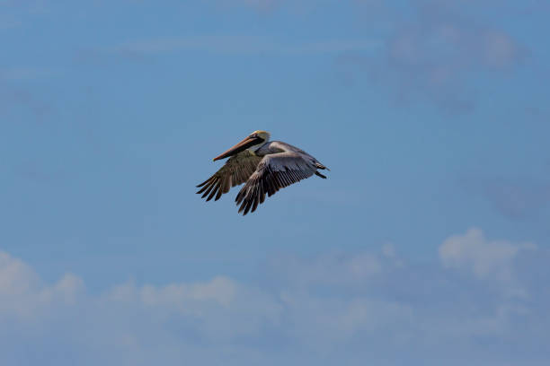 Brown Pelican in flight over Pacific ocean, Nicaragua stock photo
