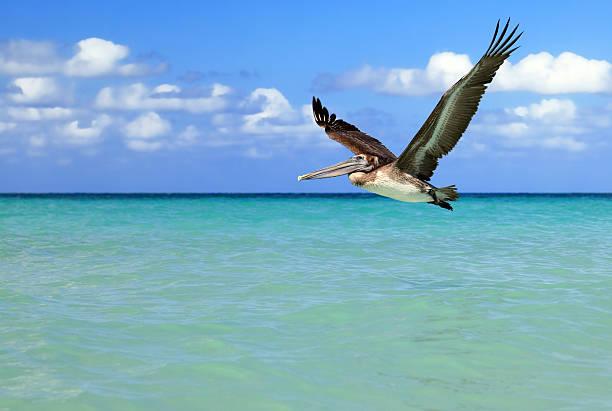 американский бурый пеликан в полете - пеликан стоковые фото и изображения