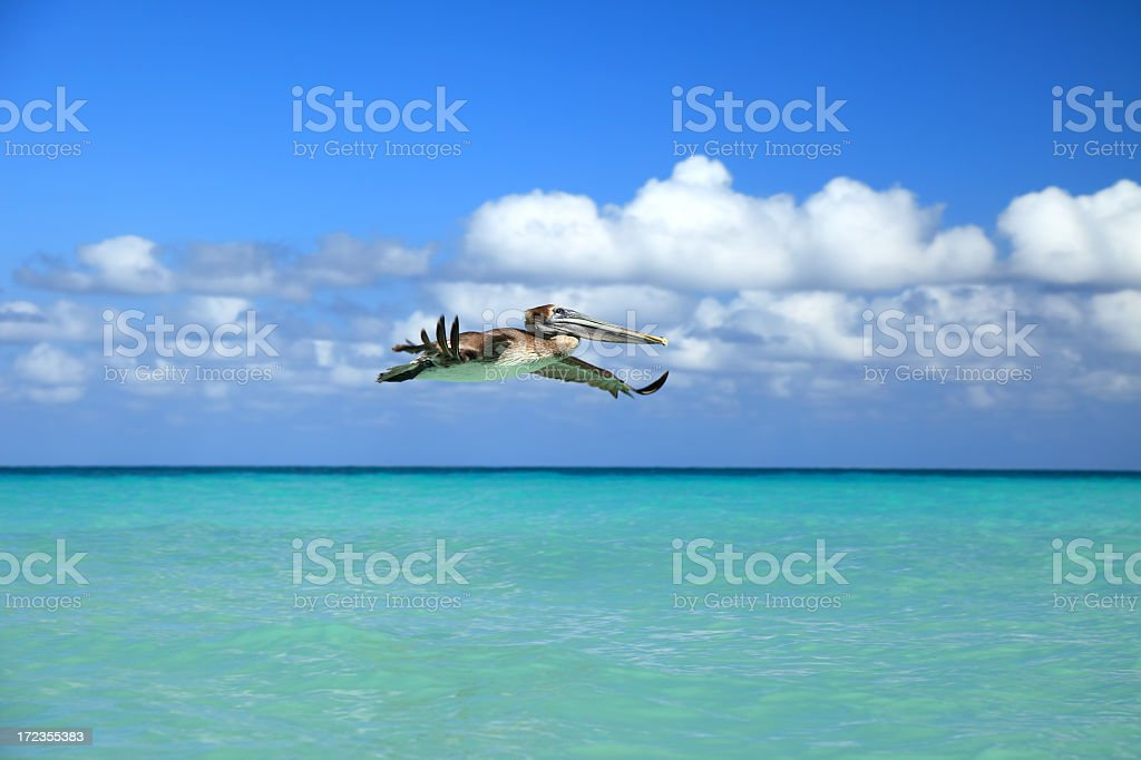Brown Pelican in flight royalty-free stock photo