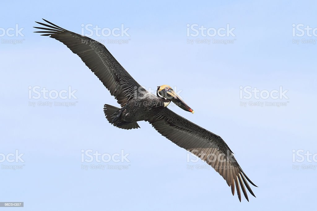 Brown Pelican In Flight royalty-free stock photo