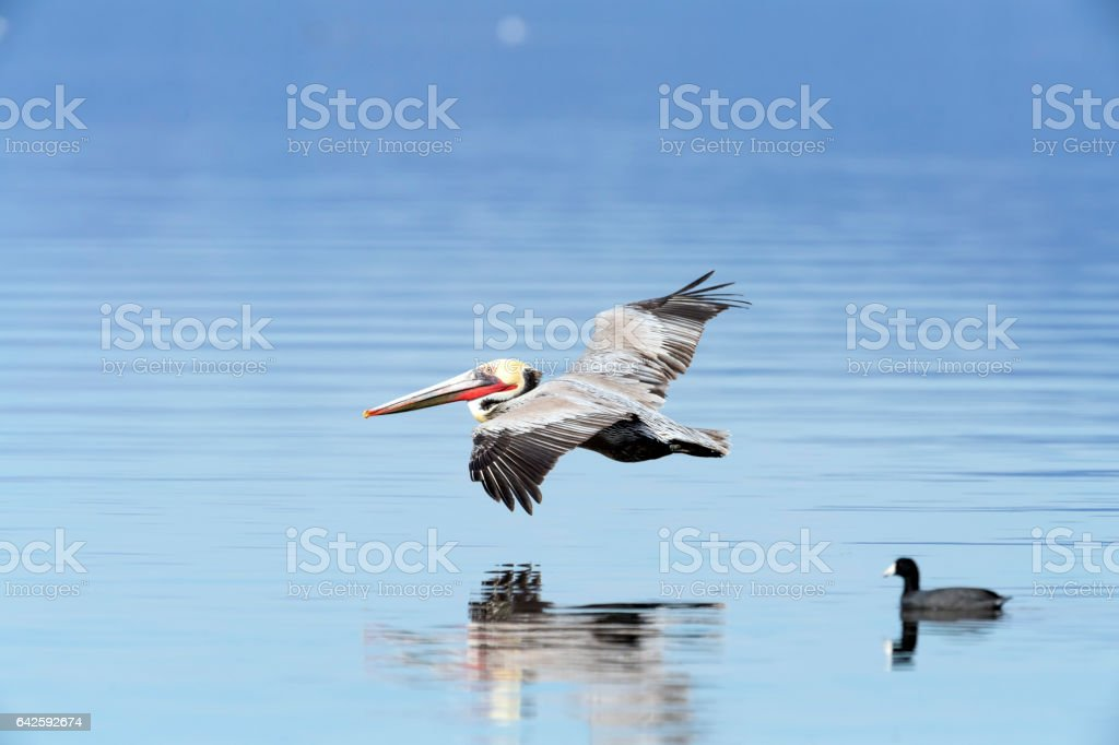 Brown Pelican in Flight with Reflection stock photo
