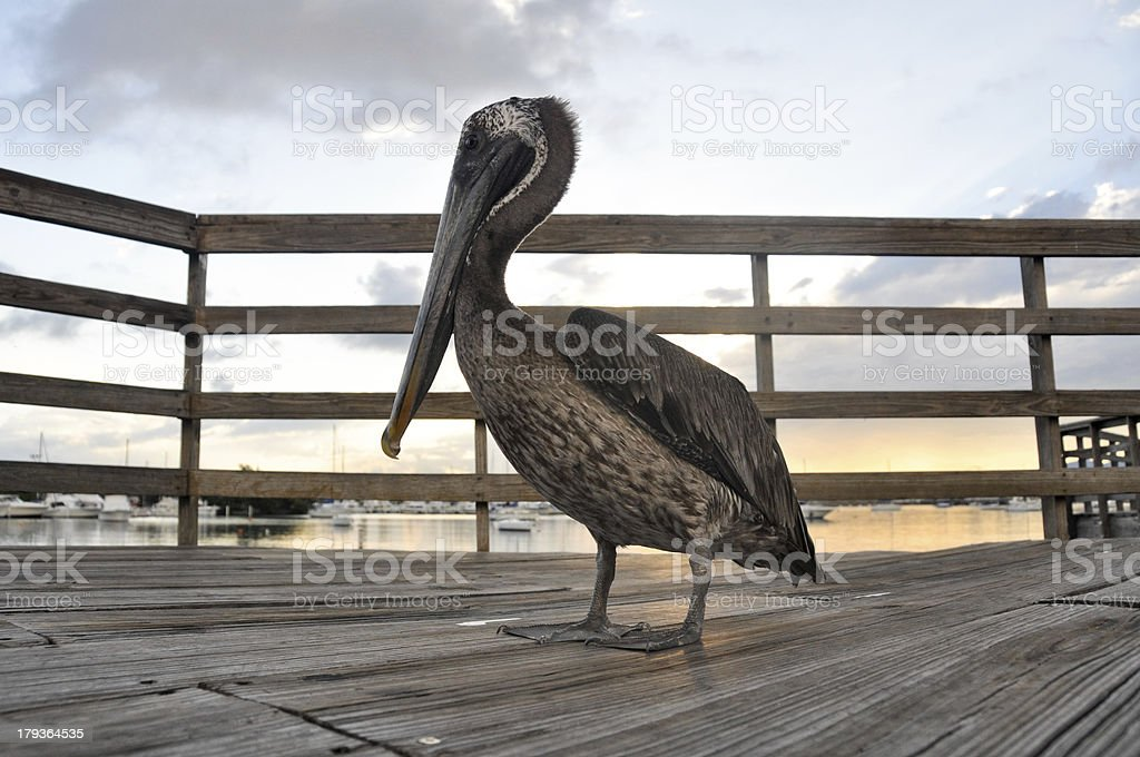 Brown pelican in Ponce (Puerto Rico) stock photo