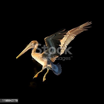 Okay, I don't play with images, especially for iStock! But this Brown Pelican was too tempting so I isolated it on a black background and then simulated a reflector in front of it and if you're a Pelican admirer maybe you'll like it this way too.