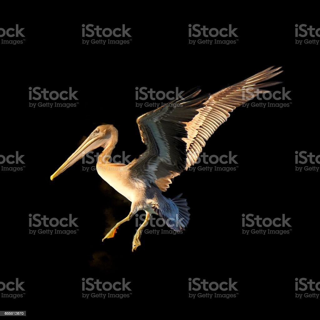 Brown Pelican Isolated on Black stock photo