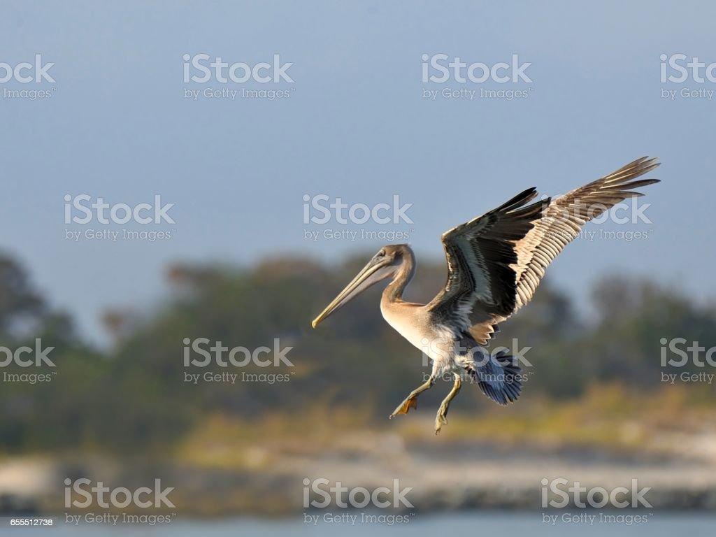 Brown Pelican Landing stock photo