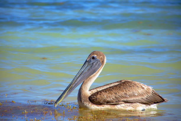 Brown pelican looking for food over the caribbean sea. Isolated, swimming. stock photo